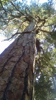 Him Tree